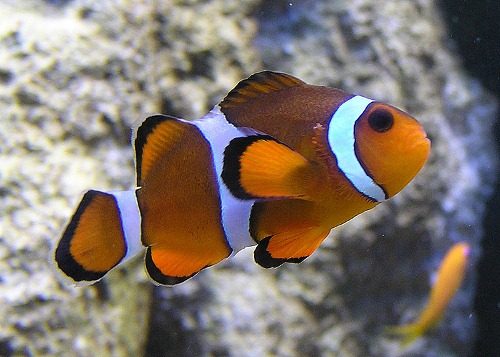 10 interesting clown fish facts my interesting facts for Clown fish habitat